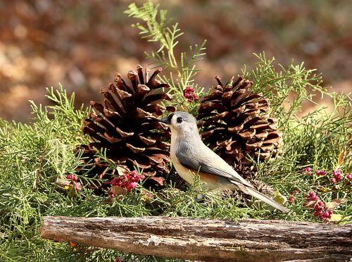 Tufted Titmouse And Pine Cones