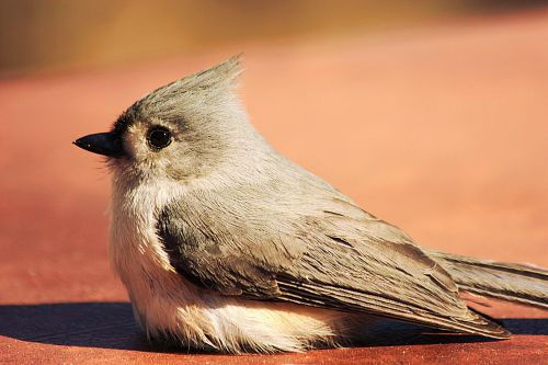 Tufted Titmouse Close-up 2