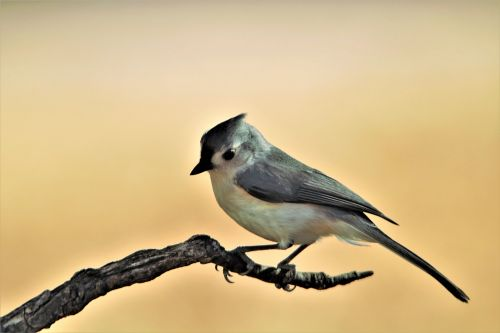 Tufted Titmouse On Branch 2
