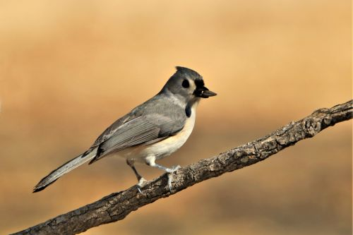 Tufted Titmouse On Branch 3
