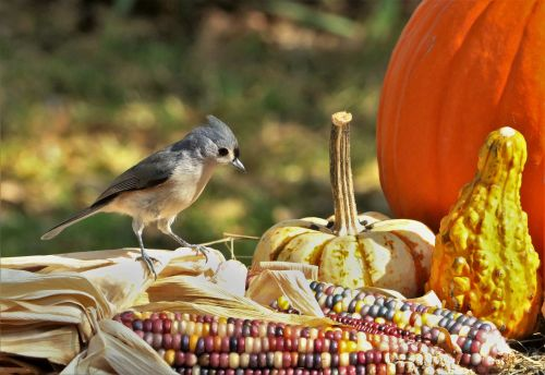 Tufted Titmouse On Indian Corn