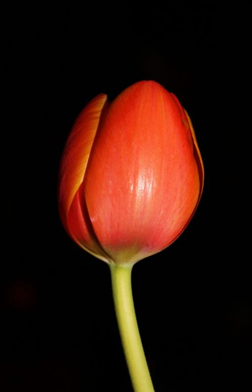 tulip night flower floral