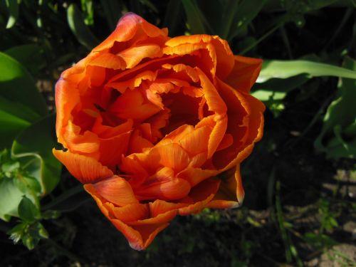 tulpė,dvigubos tulpės,oranžinė,Iš arti,užpildytas,šilta spalva,spalvos,sodas,augalai,gėlės,bulviniai augalai,žalias,ruda,gražus,pavasaris,vasara