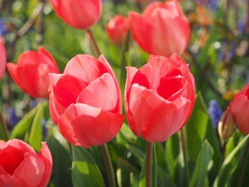 tulip red flower