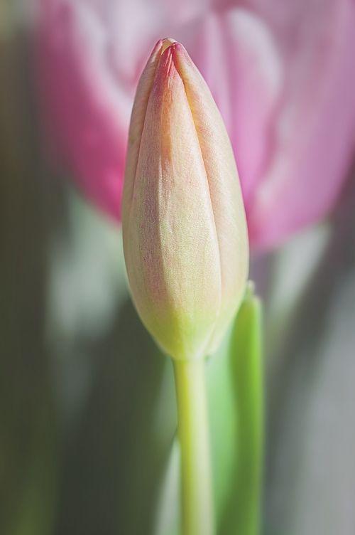 tulip closed closed flower