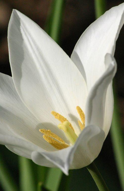 tulip white easter