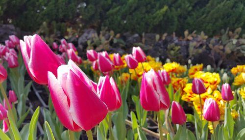 tulip flowers spring