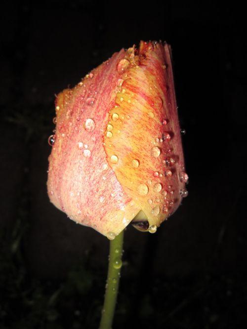tulip tulipa tulpenbluete