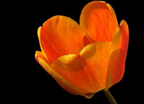 tulip tulipa blossom