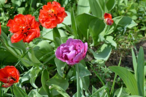 tulips flower bed flowers