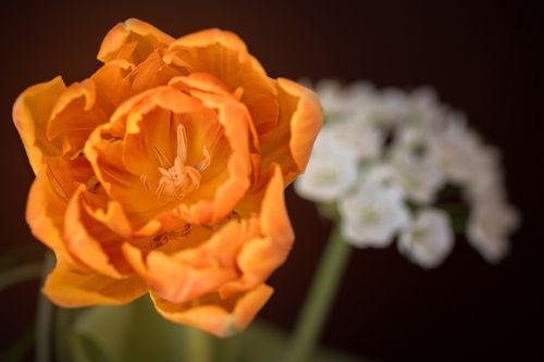 tulip orange flower