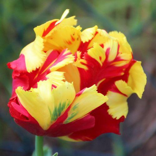 tulip blossom bloom