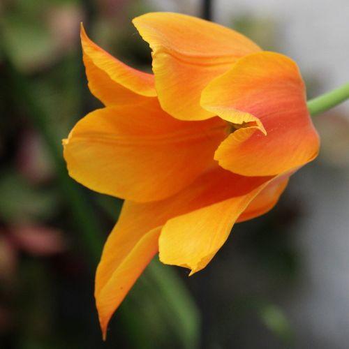 tulip blossomed orange