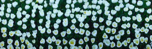 tulip flowers white