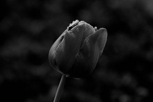tulip macro schnittblume