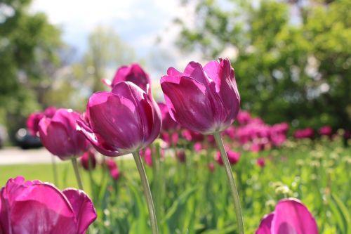 tulip sun filled colorful