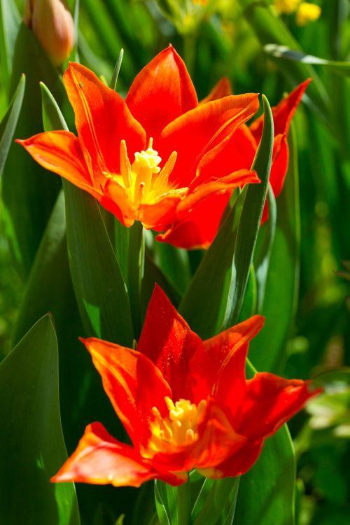 tulip spring flowers