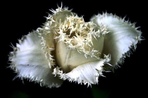 tulip flower white