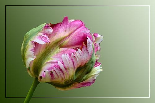 tulpė,papūga tulpė,žiedas,žydėti,spalvinga,pavasaris,pavasario gėlės