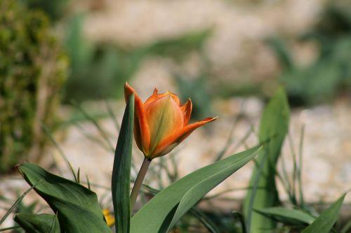 tulip spring harbinger of spring