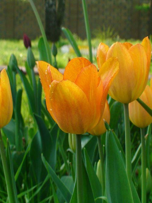 tulpė,tulpės,šventė,gėlės,gėlė,pavasaris,gražiai,dacha,budas,Iš arti,geltona tulpė,pavasario gėlės,miško tulpė,gamta,dovanos,kovo 8 d .,geltona,gražus,džiaugsmas,šviesus,gražios gėlės,augalas,pasveikinimas,kelių spalvų