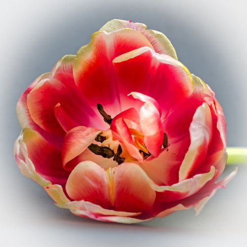 tulip tulip head blossom