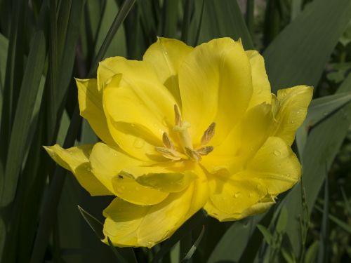 tulpė,geltonos gėlės,tulpių spyruoklė,pavasaris,žiedlapis,makro,gėlė,geltona,tulip viridiflora