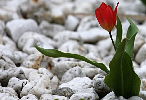 tulip stones garden