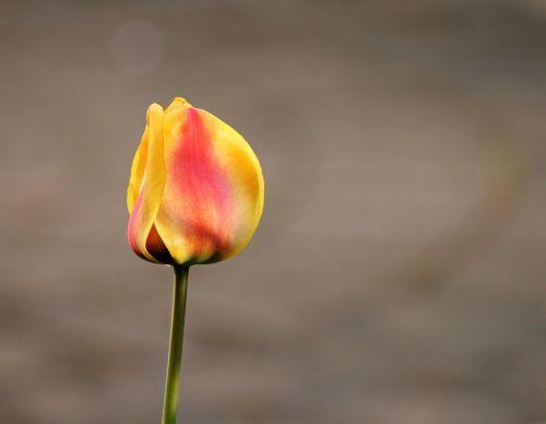tulip closed blossom