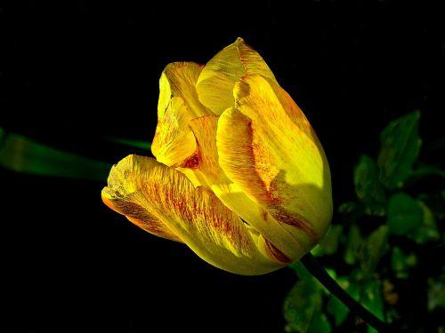 tulip spring nature