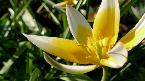 tulpė,geltonai baltos spalvos,gėlė,žiedas,žydėti,gamta,sodas,anksti,frühlingsanfang,bicolor tulip,Uždaryti,tulpenbluete