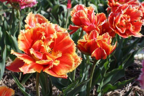 tulpė,gėlė,tulpių laukas,holland,lemputė,tulpių laukai,pavasaris,tulpės,Nyderlandai,gamta,žydėti,oranžinė