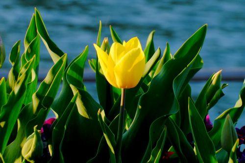 tulip yellow spring