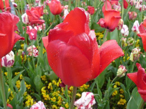 tulip red luzern