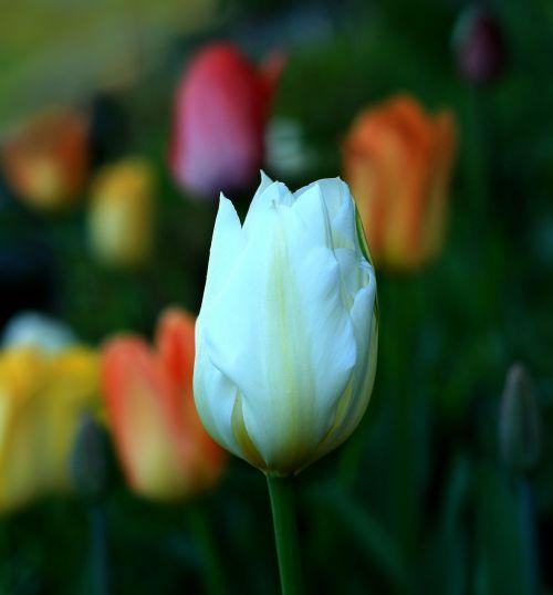 tulpė,gėlė,balta,gėlių,gamta,pavasaris,spalva,žiedas,pavasaris