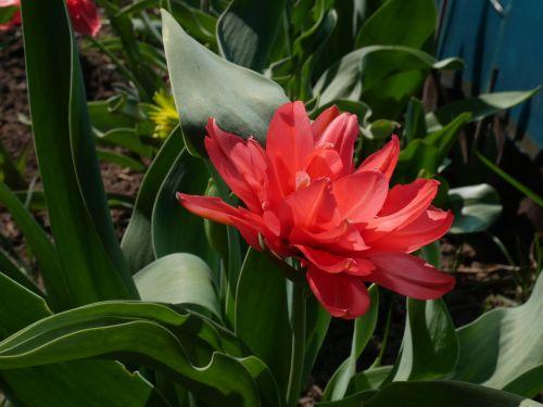 tulip pink tulip double tulip