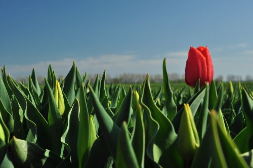 tulip red field of flowers