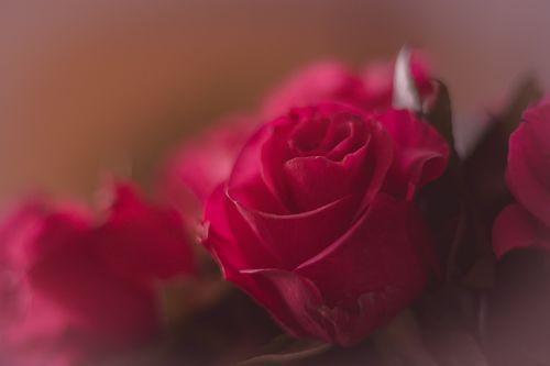 tulip flower red