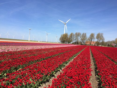 tulip tulips netherlands