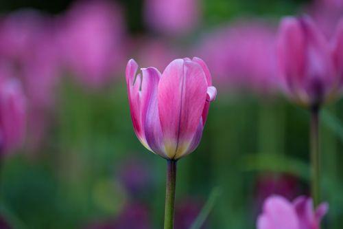 tulpė,gėlė,pavasaris,raudona,gėlės,gamta,budas,žalumos,grožis,dvigubas tulpis,balta tulpė,geltona,violetinė tulpė,natiurmortas
