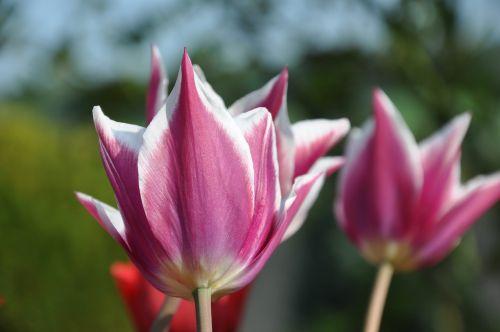 tulip purple greeting card