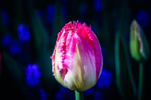 tulip flower tulpenbluete