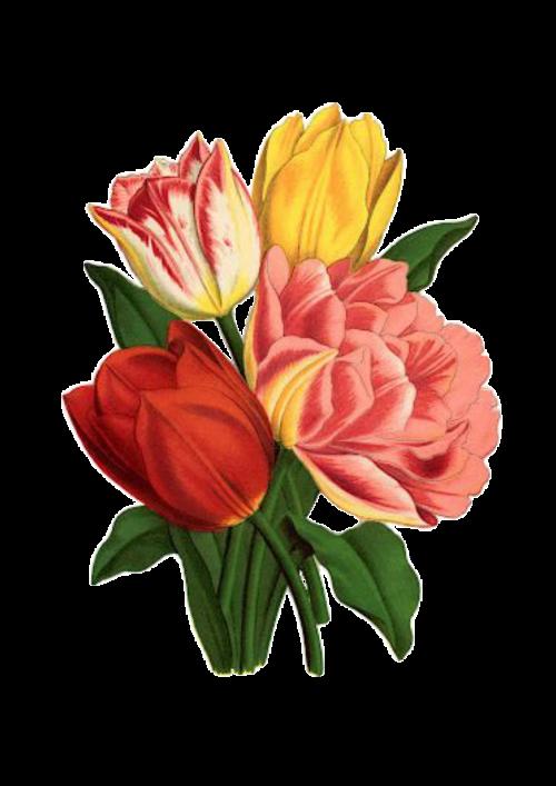 tulip rose vintage
