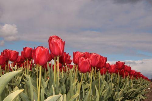 tulip tulip field tulip fields