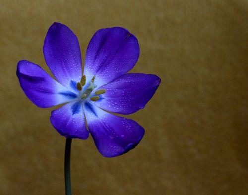 tulip mov flower