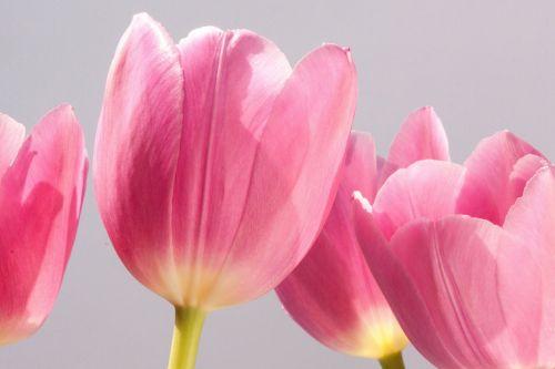 tulip lily spring