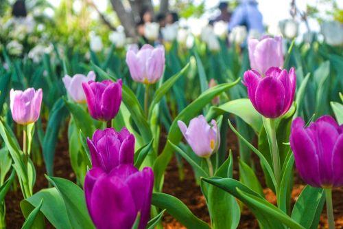 tulpė, gamta, flora, sodas, gėlės, tulpės, Tulpių rožinės tulpės rožinės spalvos tulpės