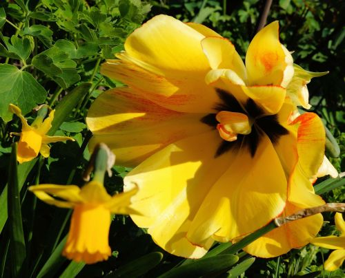 tulip flower blossom