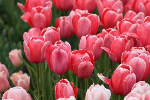 tulip  nature  flower