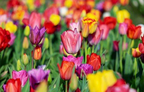 tulip  pink  tulip pink